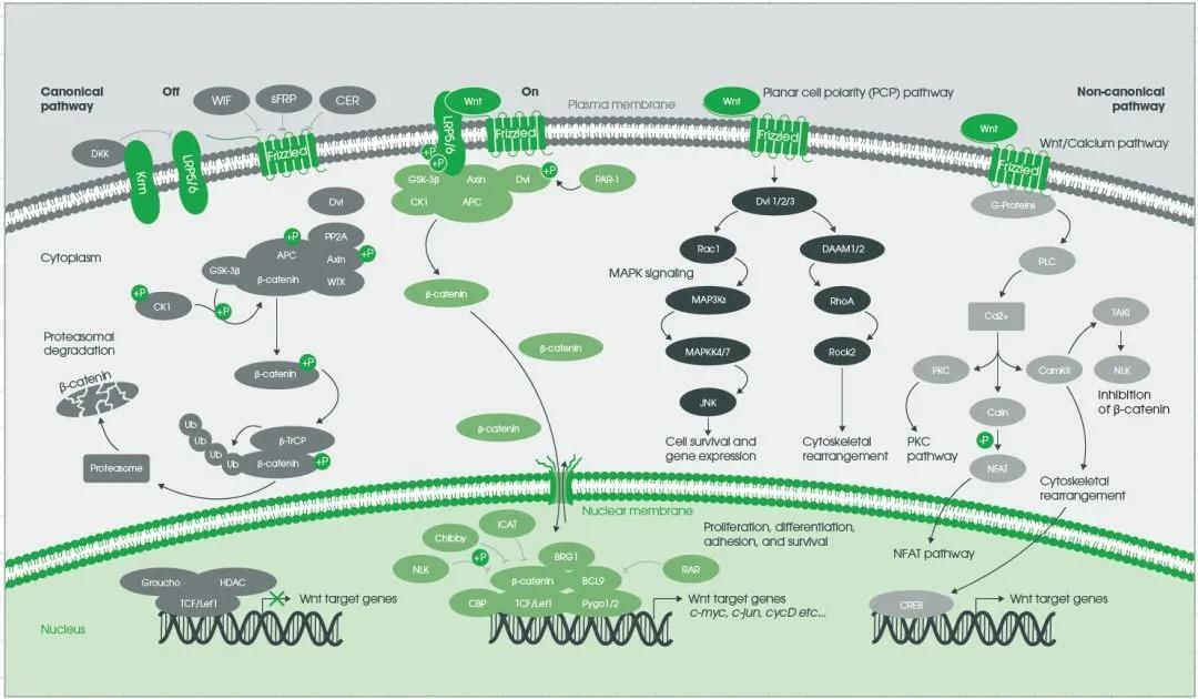 Wnt信号机制全解析!3大信号传导通路一文掌握(图3)
